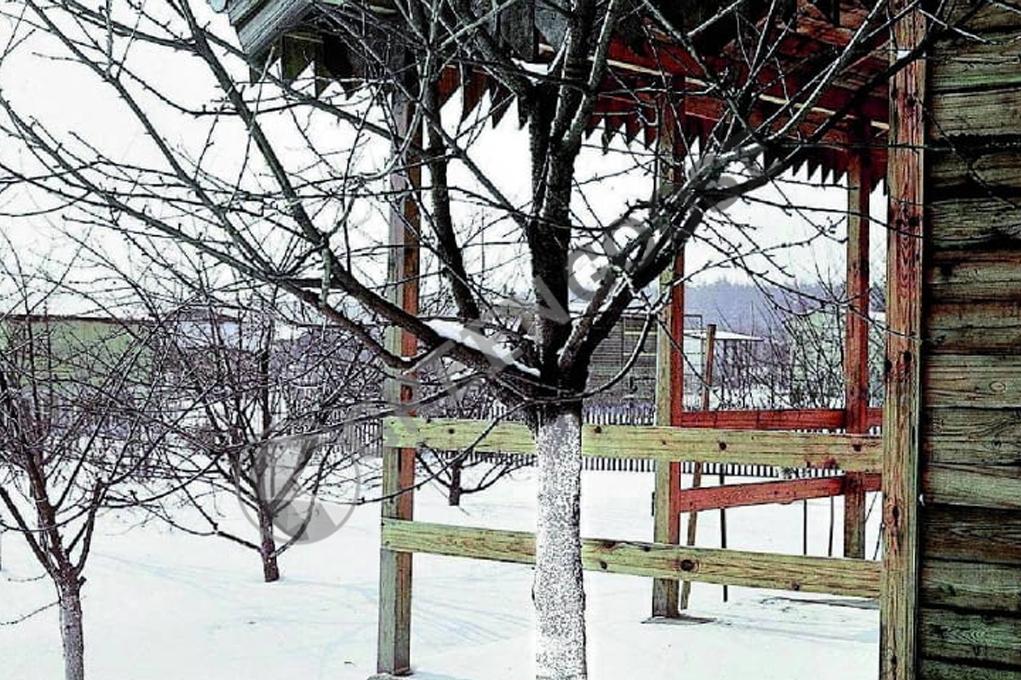 Если известь смывается дождем, обработку нужно повторить, стволы деревьев нужно побелить до начала марта.