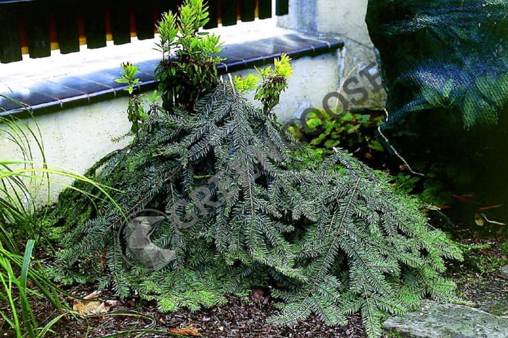 Фото: у хвойного лапника много преимуществ - он хорошо защищает нежные растения, пропускает воздух, а под ним не гнездятся грызуны.
