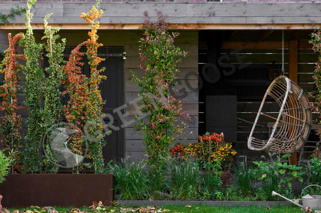 Алые светлячки - это вечнозеленые кустарники, которые можно успешно вывести в полутени у стен и подстричь, образуя узкую изгородь. Разноцветные плоды - дополнительное украшение этих растений.