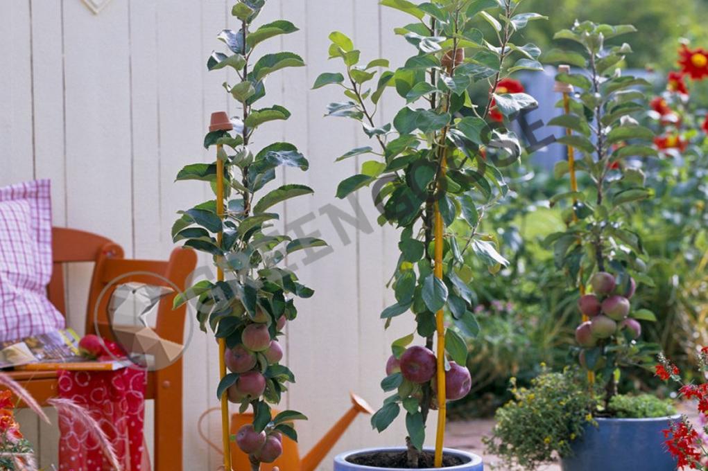 Даже в самом маленьком солнечном саду можно выращивать фруктовые виды. Достаточно высадить несколько карликовых сортов и систематически их обрезать. В синих горшках растут яблони «Полька» и «Блэк Макинтош».