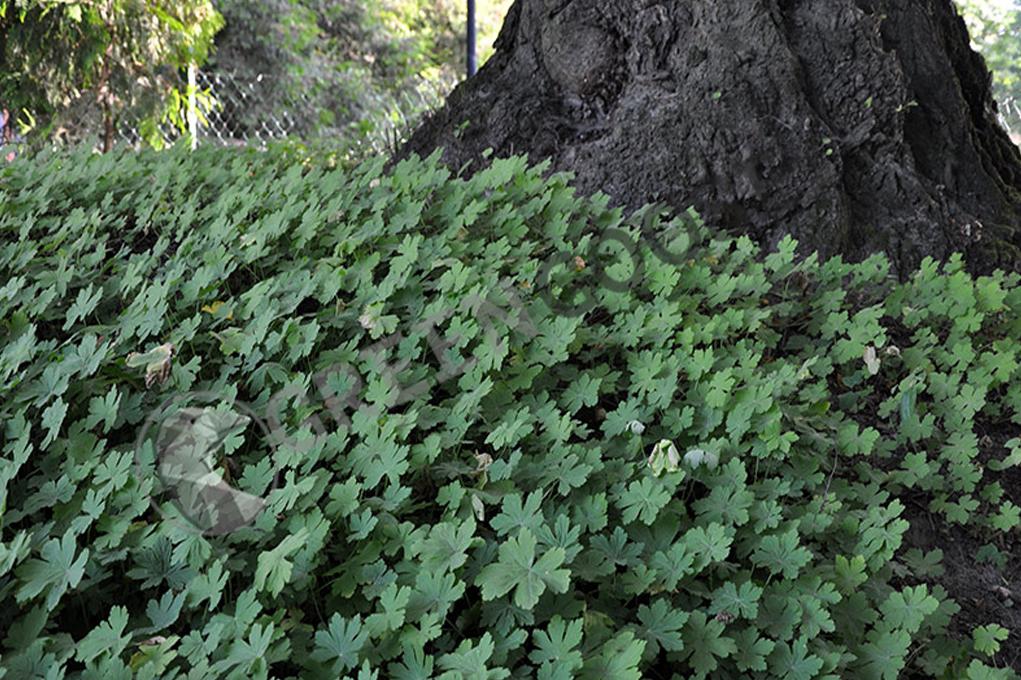 Гера́нь лесна́я (лат. Geránium sylváticum) — вид многолетних, травянистых растений рода Герань (Geranium) семейства Гераниевые (Geraniaceae).