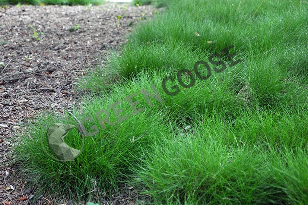 Овсяница (лат. Festuca) — род травянистых растений семейства Злаки (Poaceae).